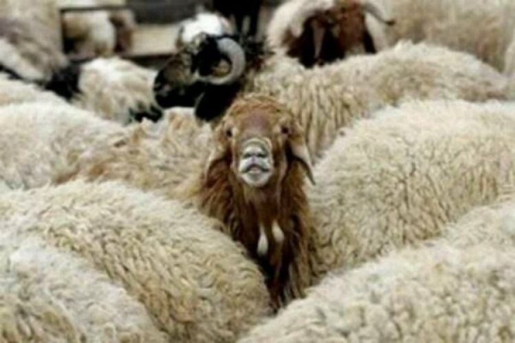 برنامه واردات گوسفند زنده از 3 کشور