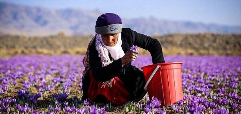 صادرات زعفران از سر گرفته شد/افزایش 8 درصدی قیمتها