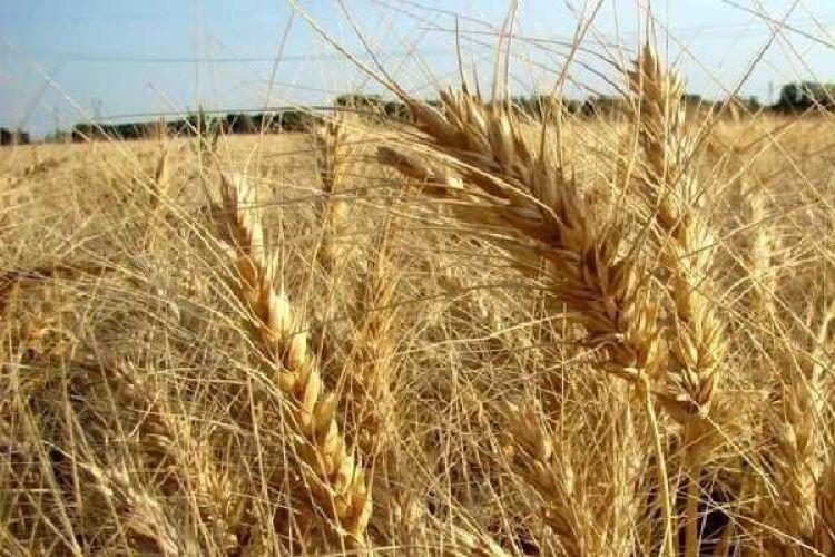 اقدام دولت در اصلاح نرخ گندم غیرقانونی است/ مجلس ورود کند
