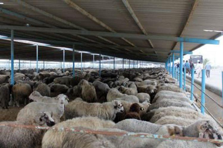 چه تعداد گوسفند و بره در کشور داریم؟/ تولد 682 هزار رأس بره در خردادماه