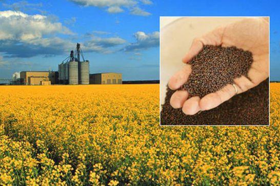 قیمت خرید تضمینی دانههای روغنی و چای فردا نهایی میشود/ بررسی نرخ گندم؛ هفته آینده