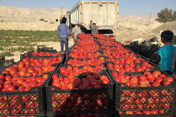 بالاخره گوجهفرنگی ارزان میشود؟