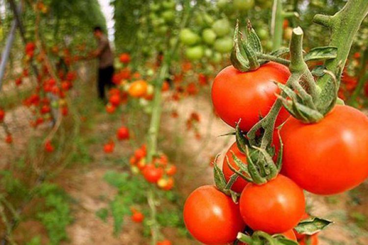 این 5 متهم گرانی گوجهفرنگی را بشناسید